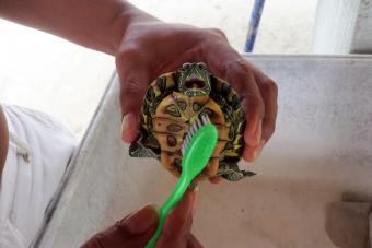 Man Cleaning Turtle With Toothbrush