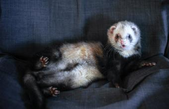 Ferret relaxing on a chair