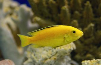 yellow lemon cichlid fish