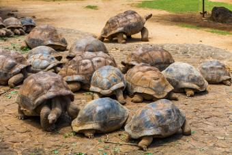 Giant Seychelles tortoise in a reserve