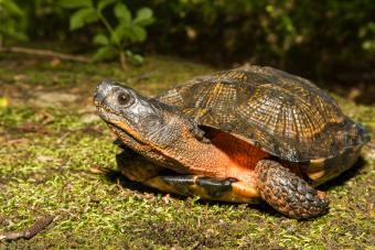 Female wood turtle