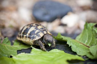 Hermann tortoise
