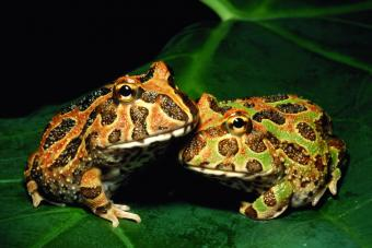Ornate horned frogs on a leaf