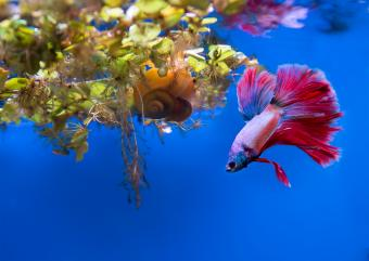 Betta Fish Losing Color? Here's What You Need to Know