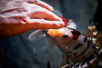 Man Feeds Koi Fish From His Hands In An Aquarium
