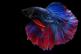Betta Flaring: What It Means and What You Should Know