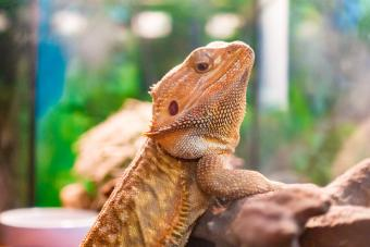 Understanding Bearded Dragon Glass Surfing Behavior