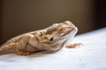 https://cf.ltkcdn.net/small-pets/images/slide/268728-850x567-standard-bearded-dragon.jpg