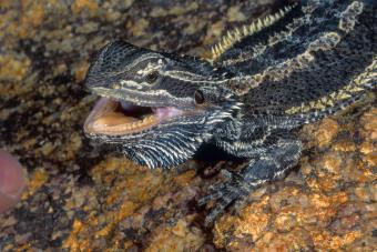 https://cf.ltkcdn.net/small-pets/images/slide/268730-850x566-agressive-bearded-dragon.jpg