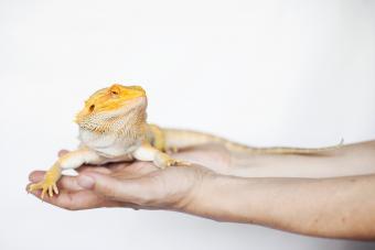 https://cf.ltkcdn.net/small-pets/images/slide/268748-850x566-yellow-beared-dragon.jpg