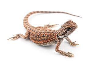 https://cf.ltkcdn.net/small-pets/images/slide/268765-850x567-dunner-bearded-dragon-.jpg