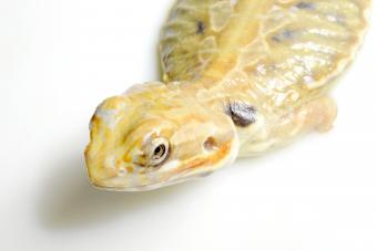 https://cf.ltkcdn.net/small-pets/images/slide/268766-850x567-silkback-dragon.jpg