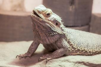 https://cf.ltkcdn.net/small-pets/images/slide/268767-850x567-witblit-dragon.jpg