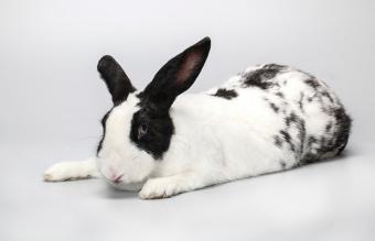 Black and white pet rabbi