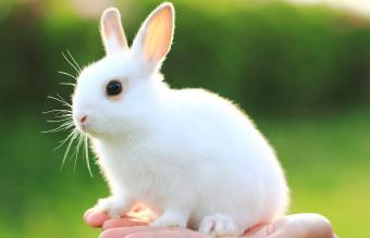 White mix breed rabbit