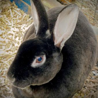 Black Rex Rabbit