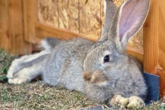 Two months old flemish bunny is laying down on the grass