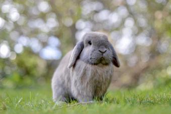 Domestic dwarf mini lop eared rabbit