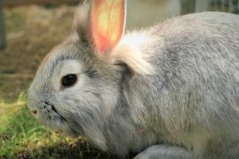 Grey Rabbit Lying on the Grass