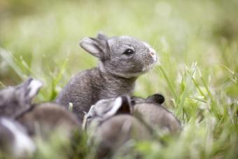 Two week old baby bunny in the grass