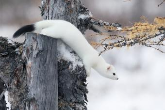 Pet Weasel Ownership and Care Guide