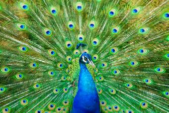Peacock names