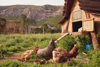 Chickens and hen coop in farmyard
