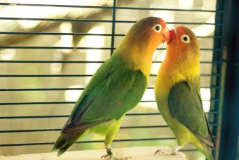 125 Captivating Lovebird Names You'll Fall For