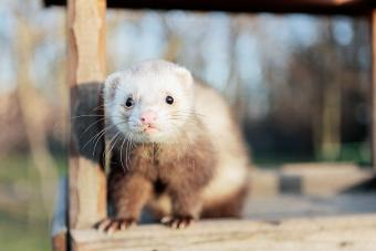 Do I Have a Fat Ferret? Maintaining a Healthy Weight