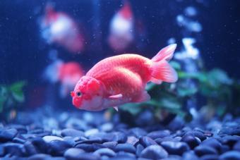 Close-Up Of Pink Fish In Aquarium