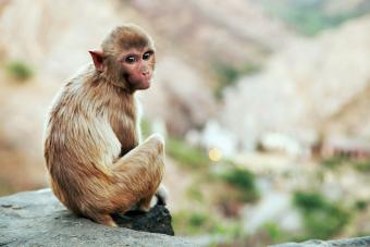 Cute Brown Monkey Sitting On The Edge Of A Wall