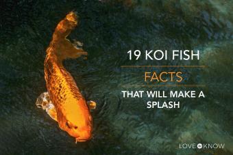19 koi fish facts