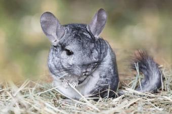 Grey chinchilla outdoors