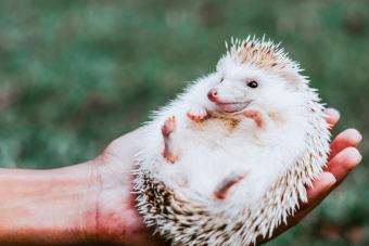 Hand Holding A Hedgehog