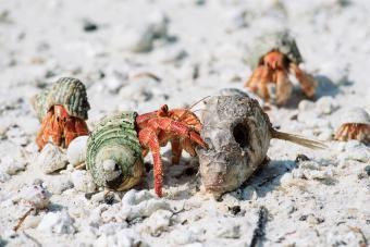 hermit crab feeding on dead fish