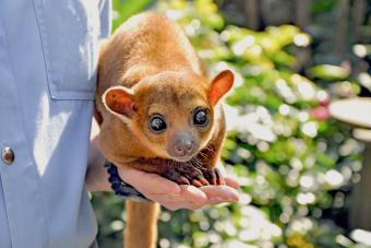 Adorable Kinkajou animal