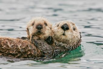 Sea Otter with Pup