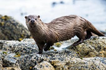 European otter on shoreline rocks
