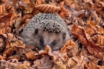 Hedgehog lying in the fall leaves