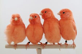 Four Red Canaries