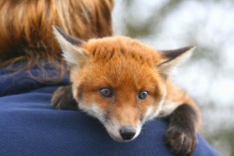 Red fox cub lying on man's shoulder