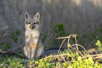 Grey Fox in the Woods