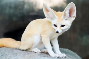 Fennec Fox Facts as Striking as Their Signature Ears