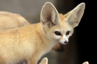 Little Fennec Fox