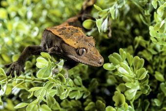 Crested Gecko Facts: What Sets This Cool Creature Apart
