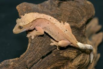 New Caledonian Crest Gecko Crawling On Dry Brown Wood