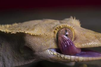 Crested Gecko Licks His Own Eye