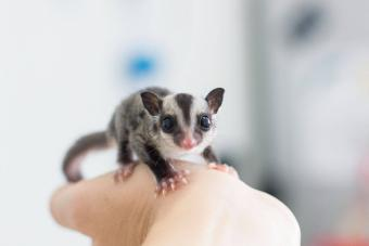 23 Sugar Glider Facts That Sure Are Sweet