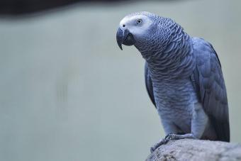 Grey Parrot Perching