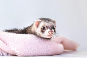 12 Best Ferret Food Brands for a Nutritious Diet